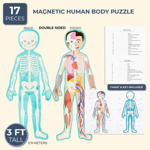 Set of 17 Pieces Magnetic Human Body Puzzle Double Sided, approx. 3 Foot Tall Perspective: back