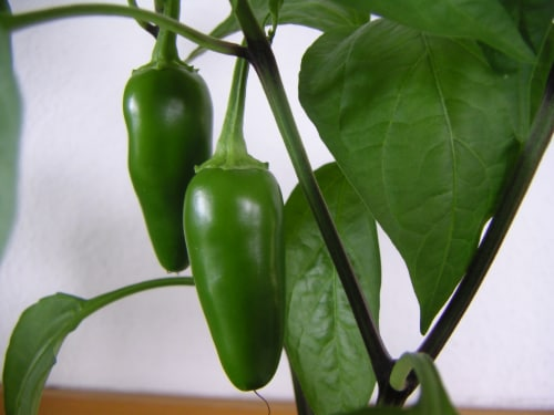 Simple Truth Organic™ Sliced Medium Hot Jalapeno Peppers Perspective: bottom