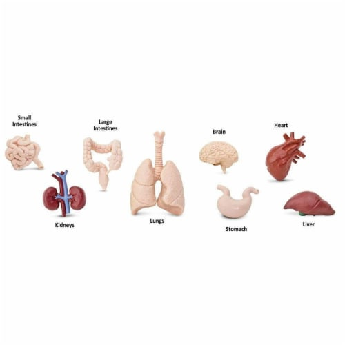 Human Organs TOOB Perspective: bottom