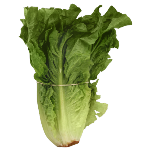 Red Leaf Romaine Lettuce Perspective: front