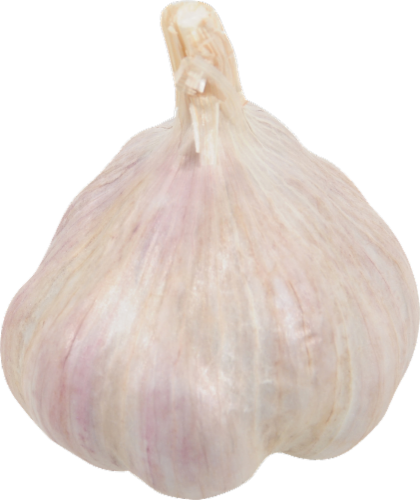 Elephant Garlic Perspective: front