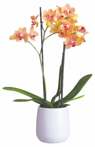 Bloom Haus™ Premium Potted Orchids Perspective: front
