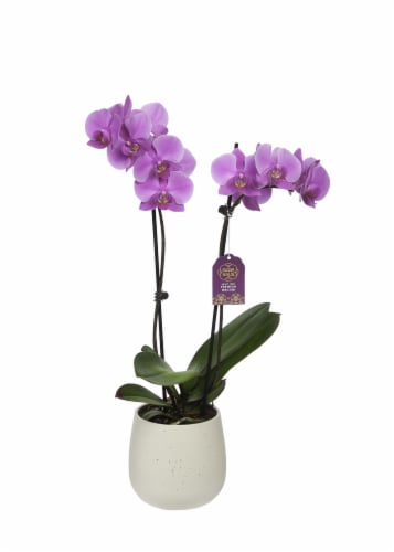 BLOOM HAUS™ Assorted Everyday Orchid Perspective: front