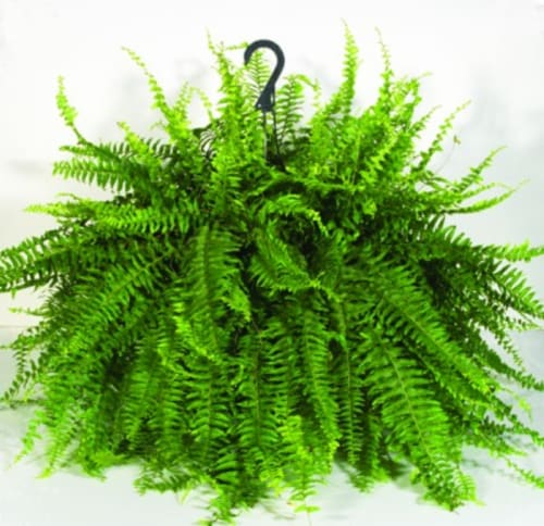 Bloom Haus Hanging Boston Fern Perspective: front
