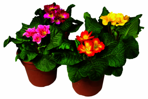 Primrose Potted Plant Perspective: front