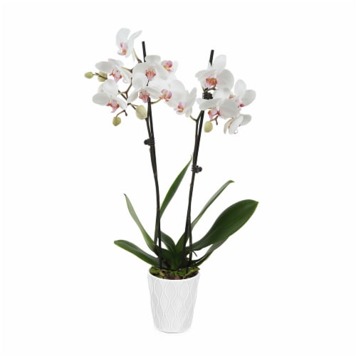 Orchid in Ceramic White Pot (Approximate Delivery is 2-7 Days) Perspective: front
