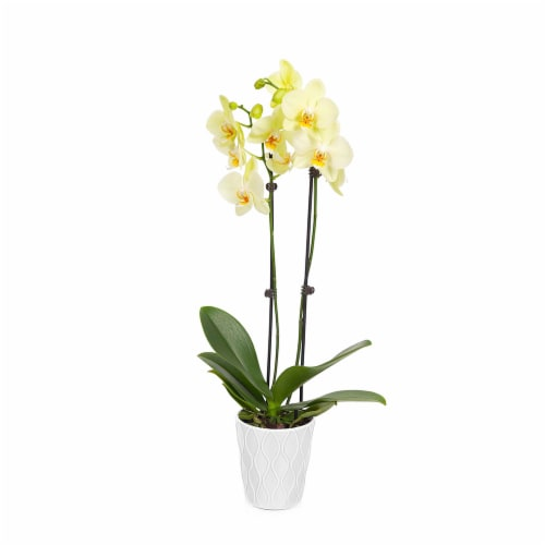 Yellow Orchid 1 Count (Approximate Delivery is 2-7 Days) Perspective: front