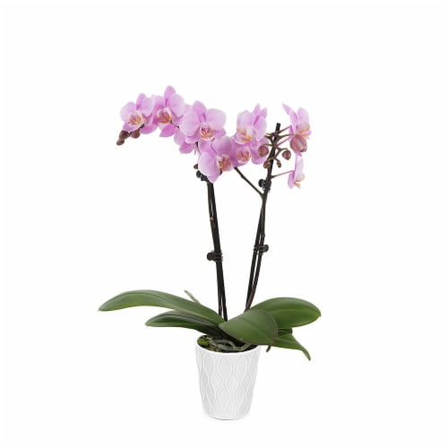 Orchid in Ceramic Pot - Pink Perspective: front