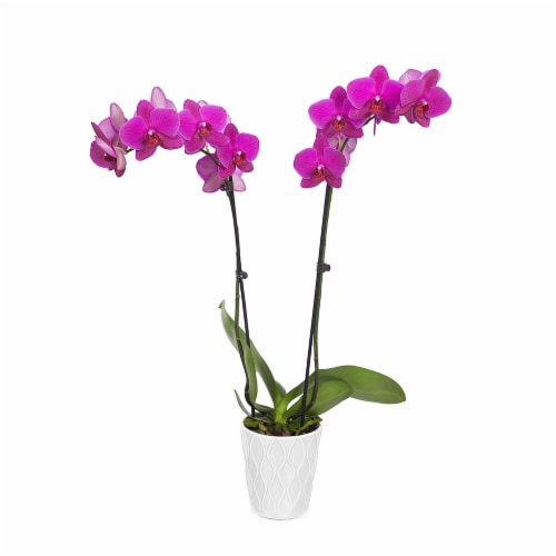 """Just Add Ice Purple Orchid in 5"""" Ceramic Pot (Approximate Delivery is 2-7 Days) Perspective: front"""