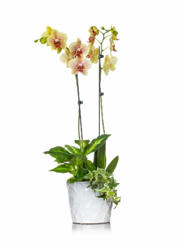 Phalaenopsis Orchid in Ceramic Planter Perspective: front