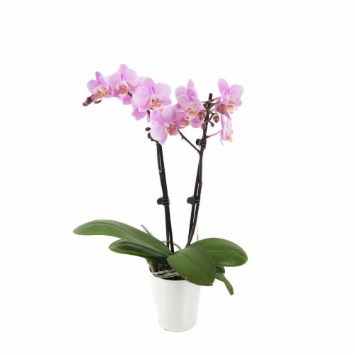 Pink Orchid 1 Count (Approximate Delivery is 2-7 Days) Perspective: front