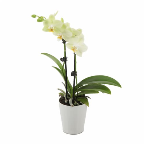 """Just Add Ice Yellow Orchid in 3"""" Ceramic Pot (Approximate Delivery is 2-7 Days) Perspective: front"""