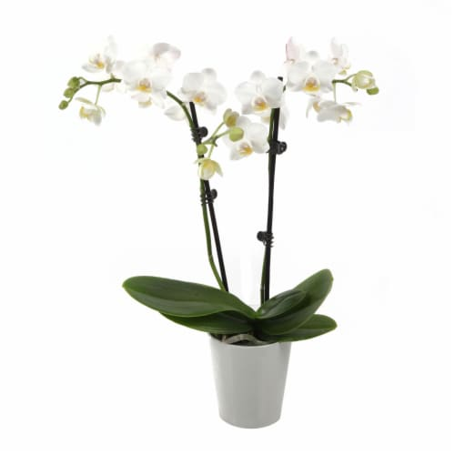 White Orchid in Ceramic White Pot (Approximate Delivery is 2-7 Days) Perspective: front