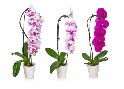 5-Inch Ceramic Pot Waterfall Orchid Perspective: front