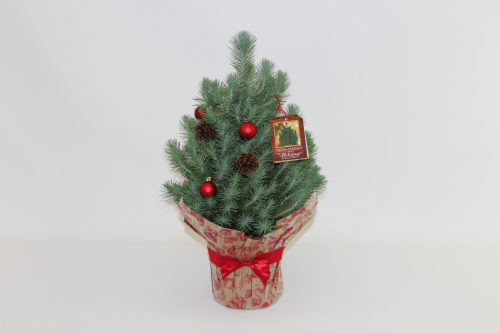 Norfolk Pine Perspective: front