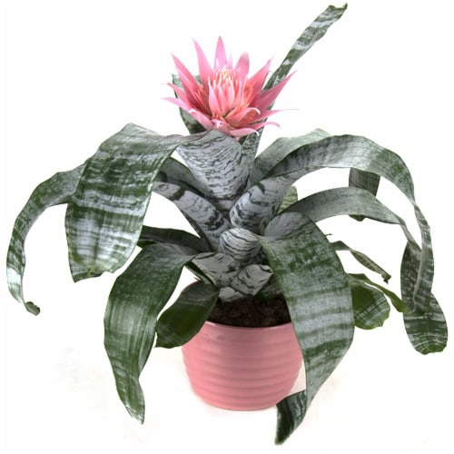 Potted Bromeliad Perspective: front