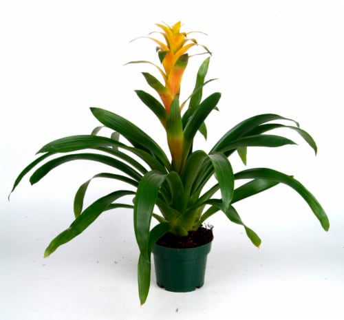Bromeliads Perspective: front