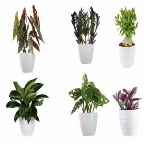 Trending Tropicals New Variety Houseplant - Assorted Perspective: front