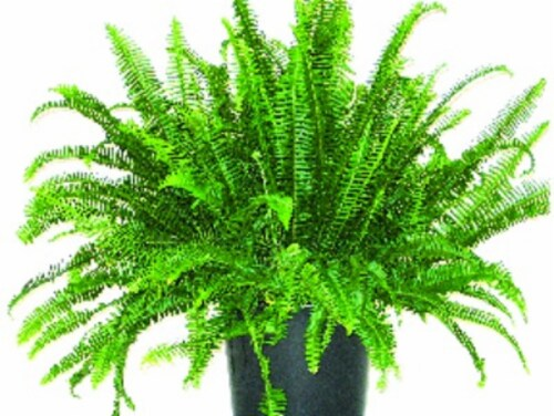 Kimberly Queen Fern Perspective: front
