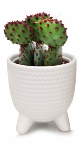 Mojave Footed Cactus Perspective: front
