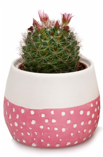 Blooming Cactus in Painted Sky Ceramic Pot Perspective: front