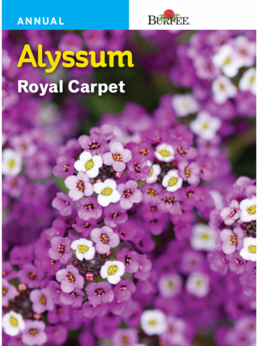 Burpee Alyssum Royal Carpet Seeds Perspective: front