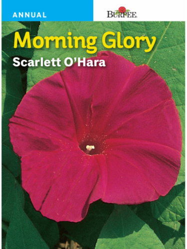 Burpee Morning Glory Scarlett O' Hara Seeds Perspective: front