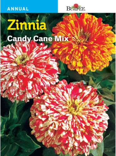 Burpee Zinnia Candy Cane Seeds Mix Perspective: front