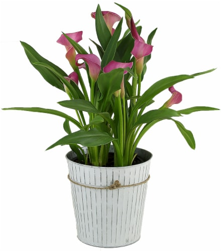 Tin Potted Pink Calla (Approximate delivery is 2 - 7 days) Perspective: front