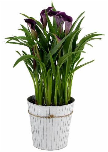 Tin Potted Purple Calla (Approximate delivery is 2 - 7 days) Perspective: front