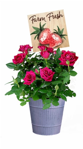 Berry Cobbler Roses in Pot Perspective: front