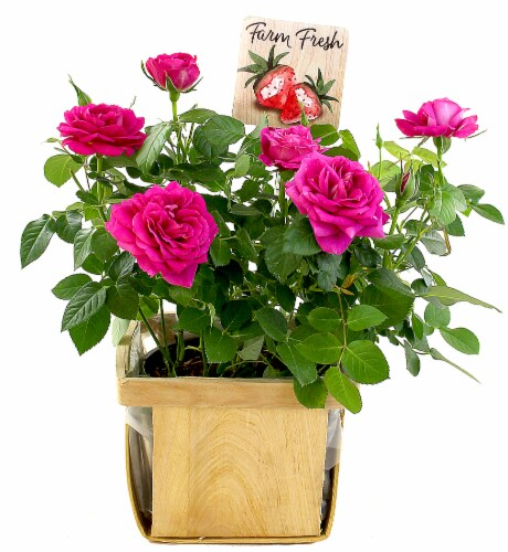 Berry Patch Roses in Wooden Box Perspective: front