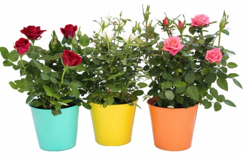 Por La Mar Nursery Mini Rose in Summer Tin Perspective: front
