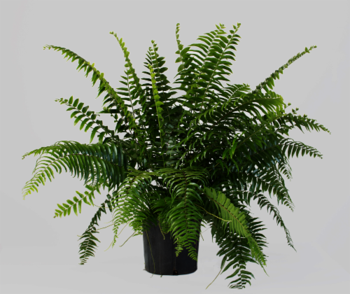Flora Fern Mach Plant Perspective: front