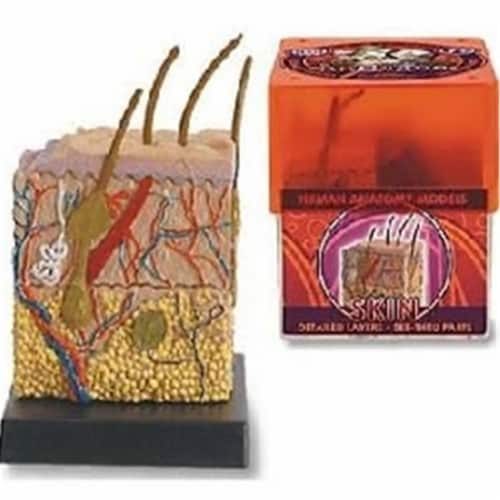 Tedco Toys 32370-SKI Bio Signs Skin Anatomy Model Perspective: front