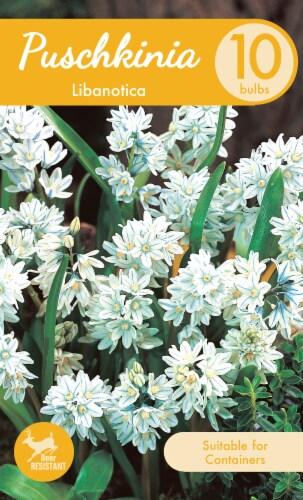 Garden State Bulb Libanotica Puschkinia Bulbs Perspective: front