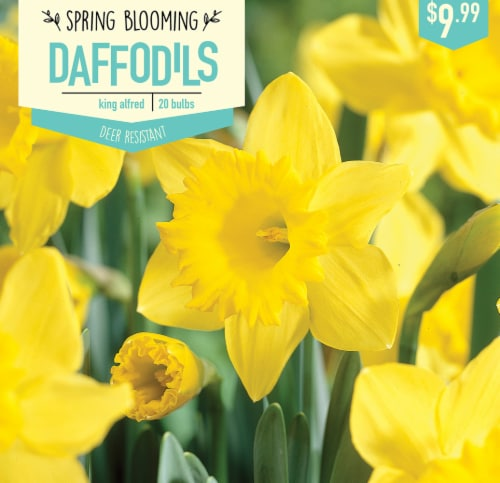 Fry S Food Stores Garden State Bulb Daffodil King Alfred Bulbs 20 Count 20 Ct