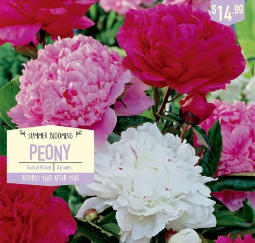 Garden State Sorbet Mixed Peony Bulbs Perspective: front