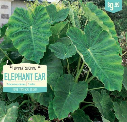 Garden State Bulb Elephant Ear Colocasia Esculenta Bulbs Perspective: front