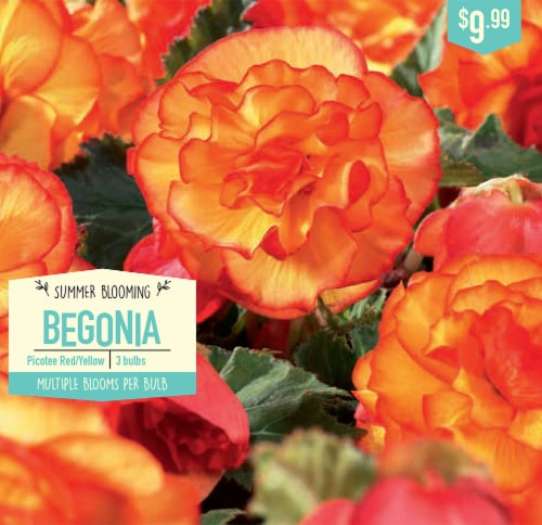 Garden State Bulb Begonia Bulbs - Picotee Red/Yellow Perspective: front