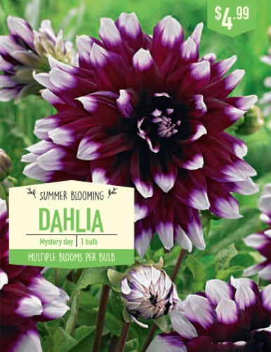 Garden State Bulb Mystery Day Dahlia Bulb Perspective: front