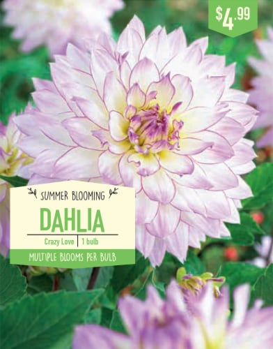 Garden Bulb State Crazy Love Dahlia Bulb Perspective: front