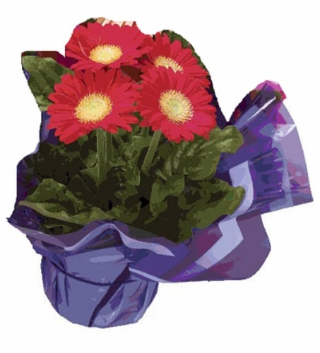 Gerbera Daisy - Assorted Perspective: front