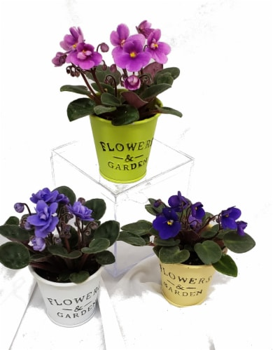 Mini African Violets with Flower and Garden Tin (Approximate Delivery is 2-6 Days) Perspective: front