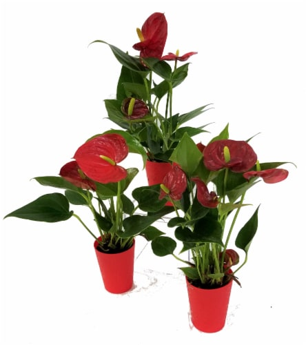 Mini Potted Anthuriums (Approximate Delivery is 2-6 Days) Perspective: front