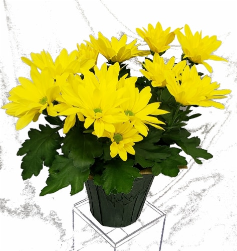 Yellow Mums with Seasonal Pot Cover (Approximate Delivery is 2-6 Days) Perspective: front