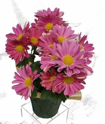 Pink Mum with Seasonal Pot Cover (Approximate Delivery is 2-6 Days) Perspective: front