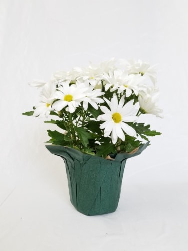 White Mum with Seasonal Pot (Approximate Delivery is 2-6 Days) Perspective: front
