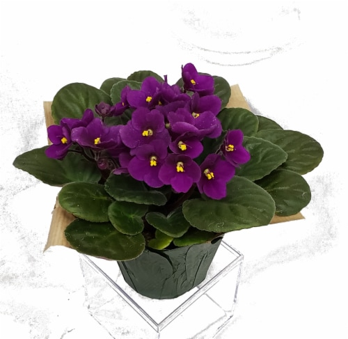 Purple African Violet with Seasonal Pot Cover (Approximate Delivery is 2-6 Days) Perspective: front