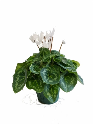 White Cyclamen with Seasonal Pot Cover (Approximate Delivery is 2-6 Days) Perspective: front
